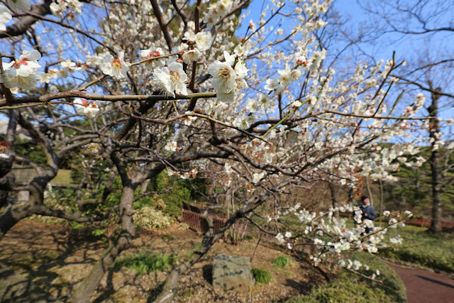 White Cherry Blossom at Imperial Palace East Park in Tokyo, Japan