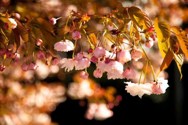 pink cherry blossom bokeh