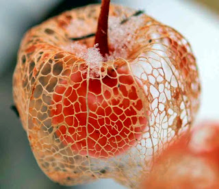 Physalis, fruta exótica