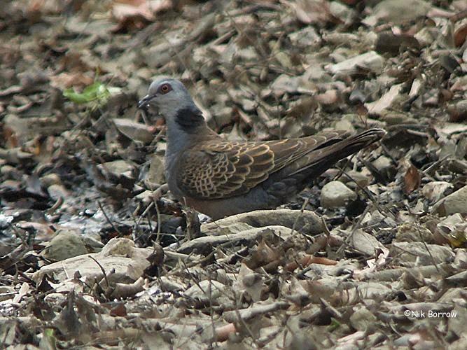 Adamawa turtle dove