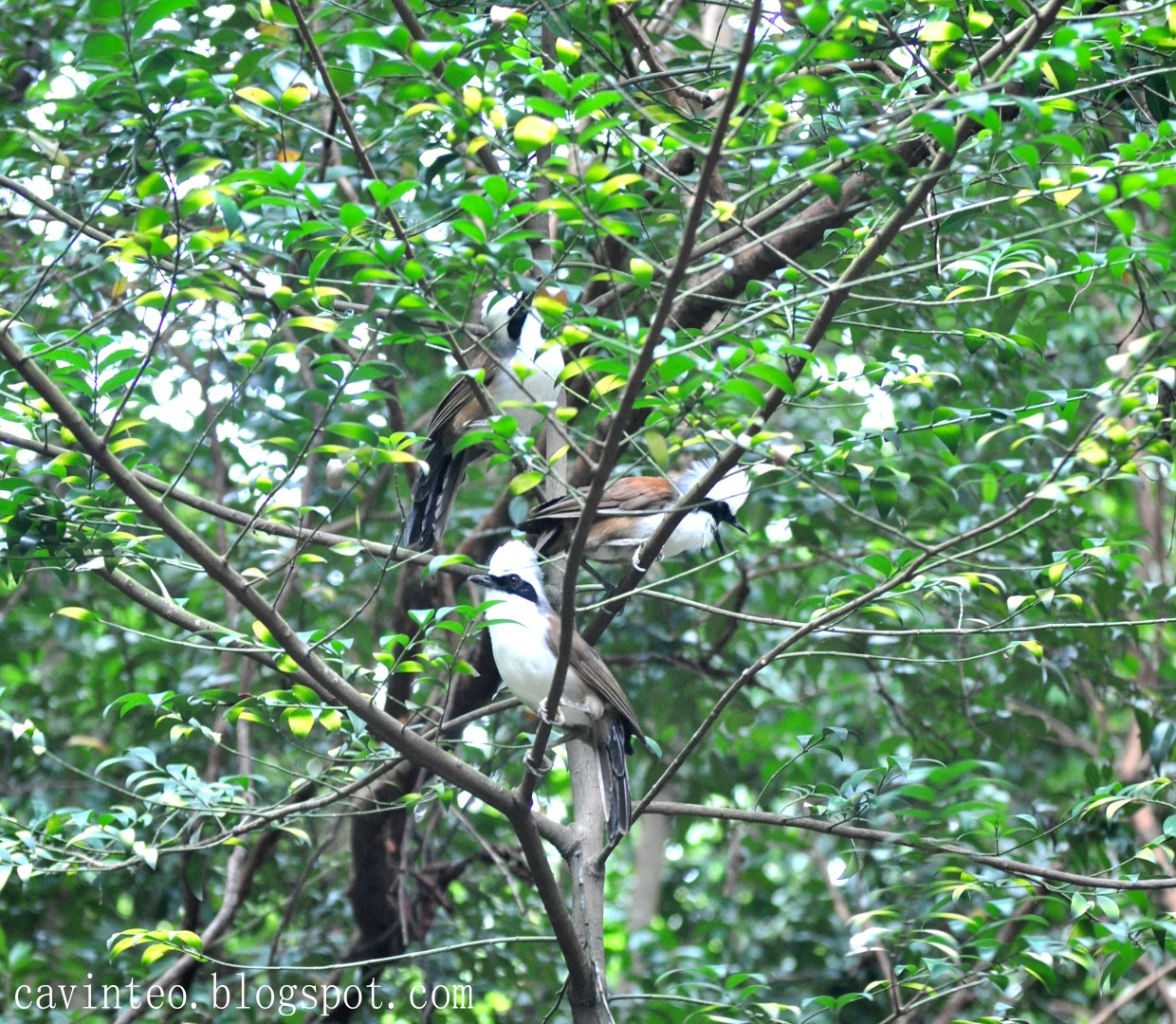 ... Laughingthrush - A Daring Bird Species @ Telok Blangah Hill Park