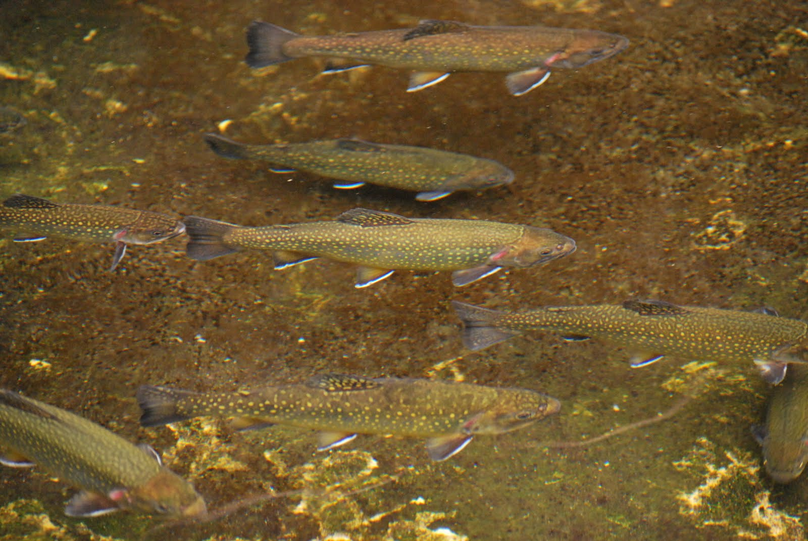 The adirondack brook trout the adirondack almanack for Nys fishing seasons