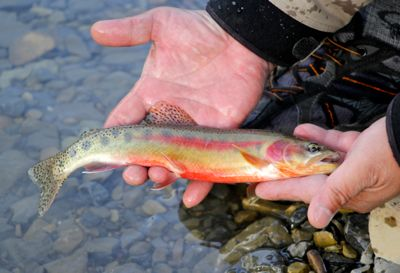 Get your fishing licence by clicking on the golden trout!