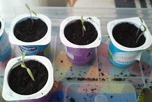 Semilleros de Tomates