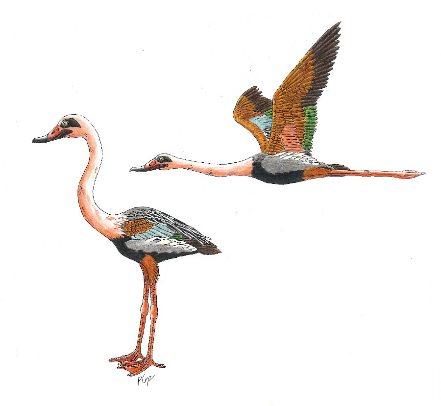 Extinct Animal of the Week: Flamingos or Ducks?