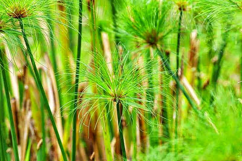 Cyperus papyrus, plants, reeds