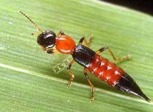 Serangan Serangga Tomcat
