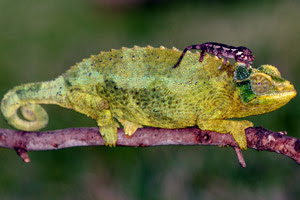 Image of mother chameleon and baby copyright FLChams.com