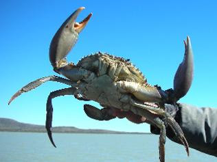 Morton Bay Mud Crab, Queensland