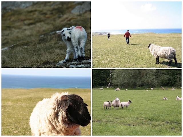 Sheep Isle of Lewis