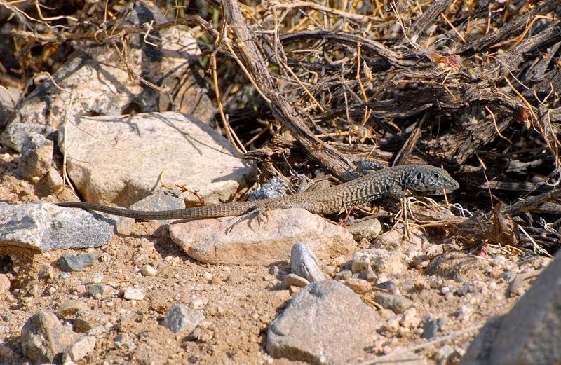Marbled Whiptail Lizard