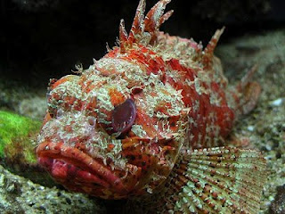 Devil scorpion fish