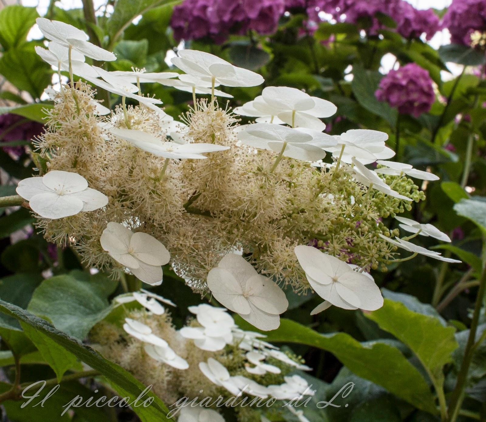 Il piccolo giardino di l prime conferme dalla mia for Ortensia quercifolia