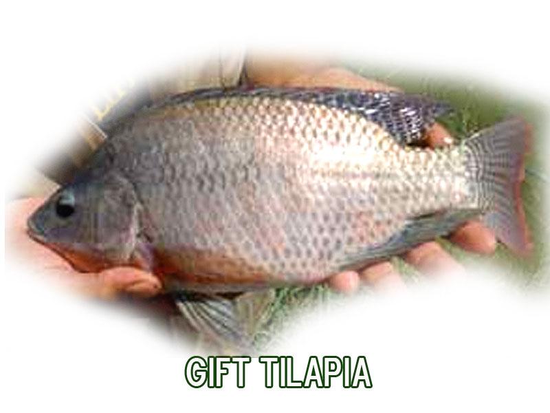 Til pia gift piscicultura for Piscicultura tilapia roja