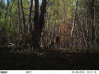 Deer on left with small spikes (future antlers)