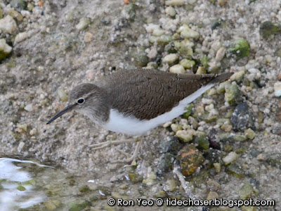 Common Sandpiper (Actitis hypoleucos)