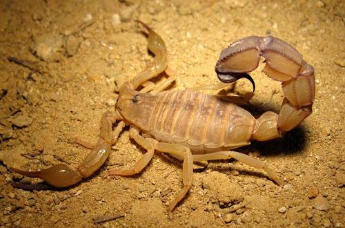 Escorpião mais mortal do mundo