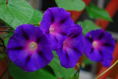 Hinh anh dep hoa bim bim Hinh anh dep hoa bim bip Hinh anh dep cac loai hoa
