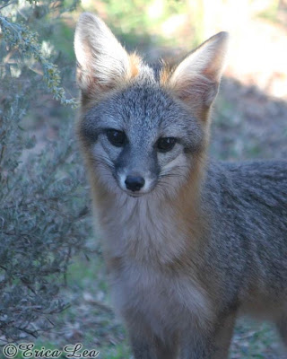 desert gray fox