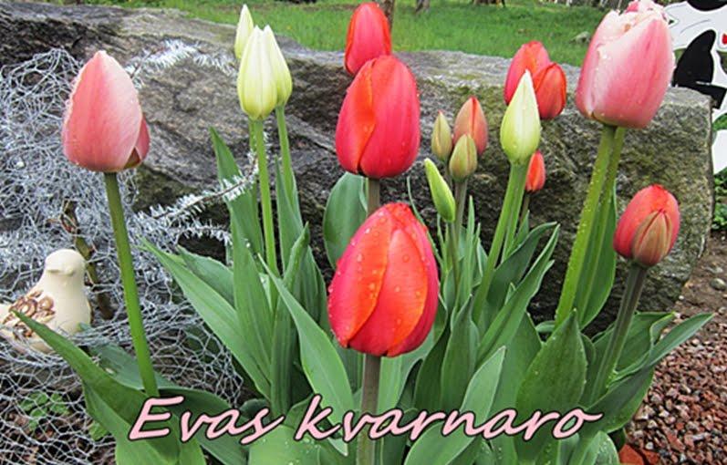 .Evas Kvarnaro
