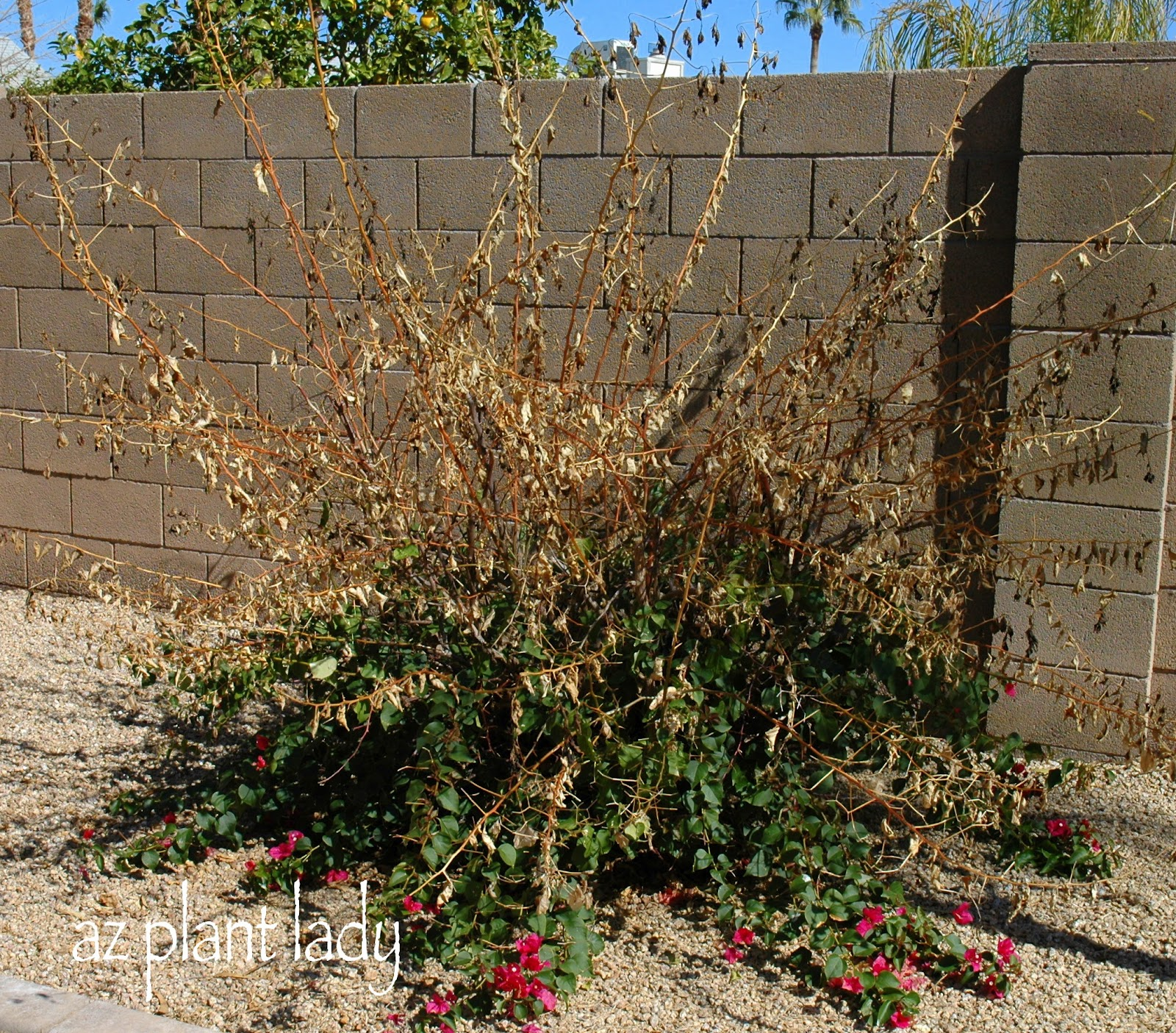 Peacful Day And Spring Pruning Ramblings From A Desert Garden