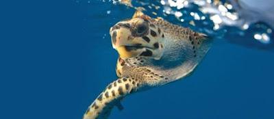 Projeto Tamar completa 35 anos com nova geração de tartarugas marinhas