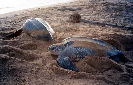 Marine Sea Creatures Through Marine Biology Reptiles Seaturtle