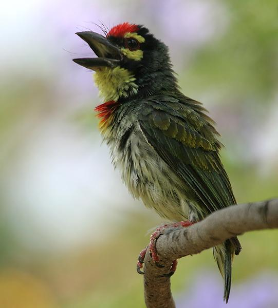 Little Yellow Bird >> ARUNACHALA BIRDS: Coppersmith Barbet