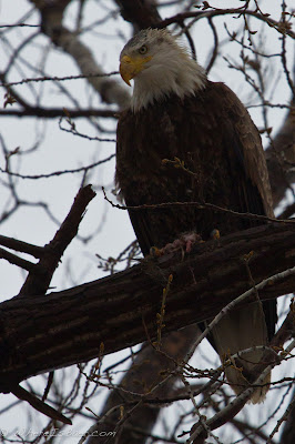 Bald Eagle lurking in his perch , chris Baer, minnesota