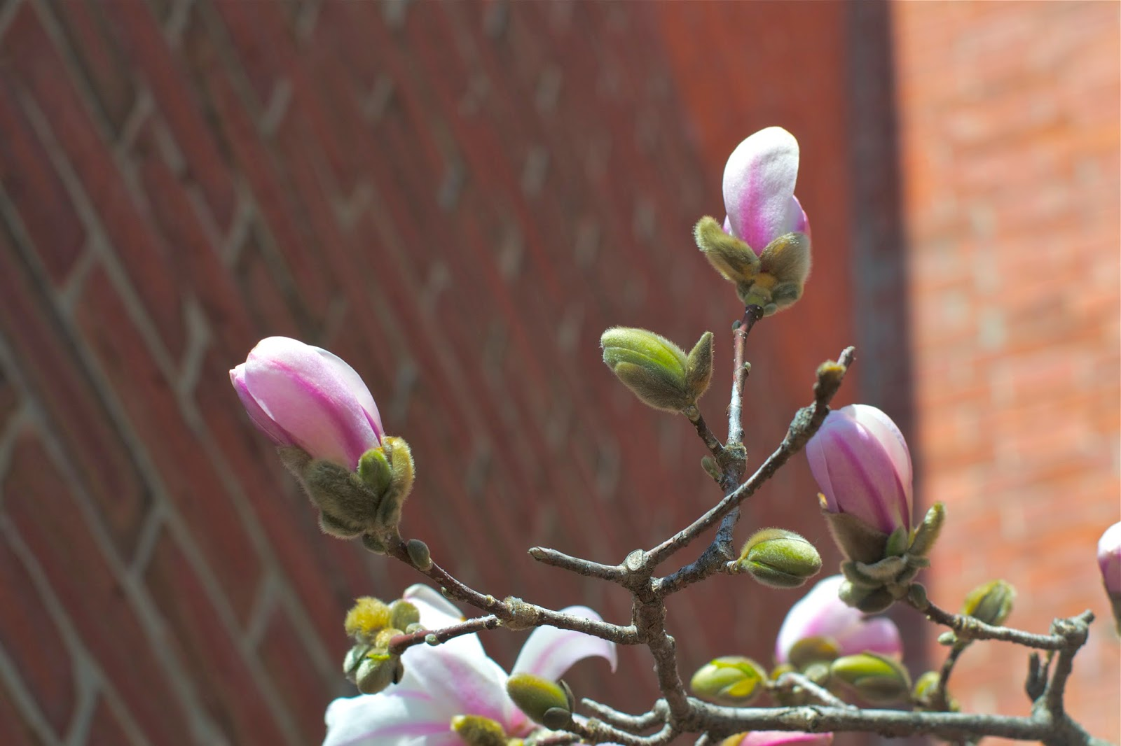 Close up of Magnolia buds starting to bloom.