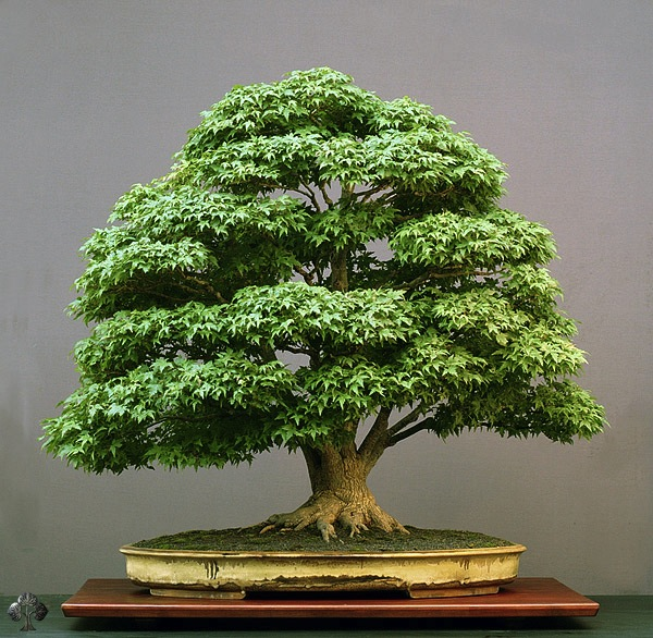 ficus benjamina broom style bonsai. Black Bedroom Furniture Sets. Home Design Ideas