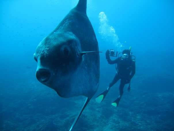 All about beautiful bali july 2013 for Mola mola fish