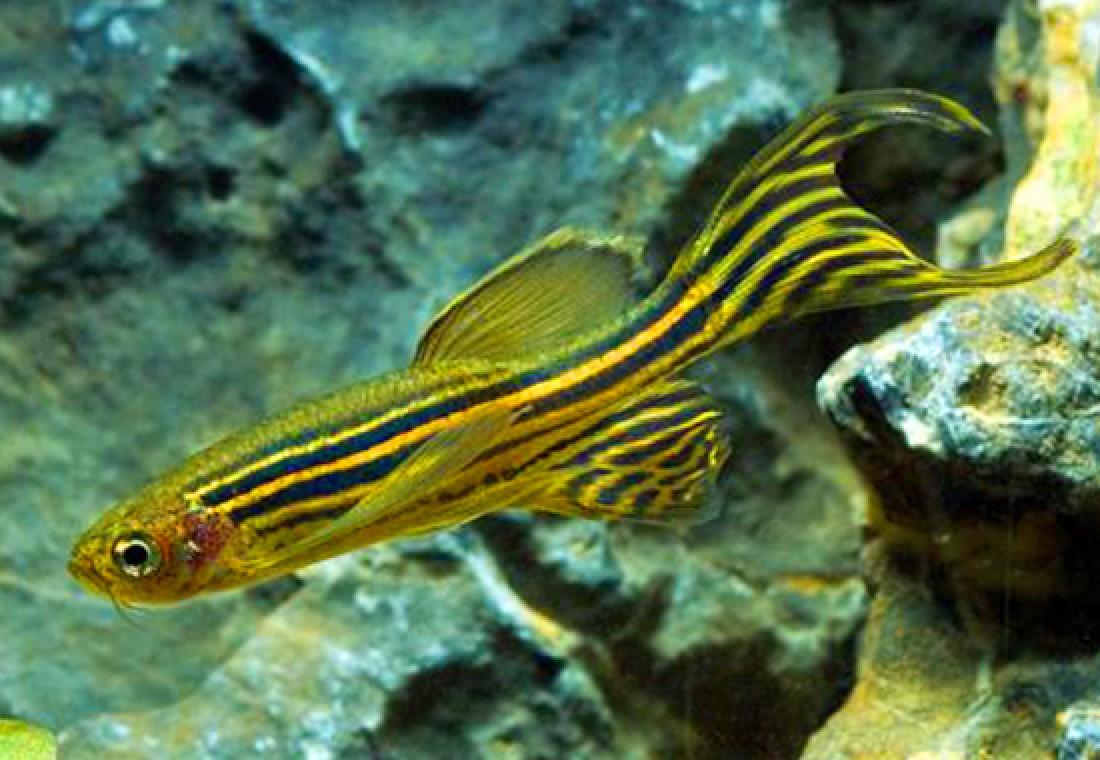 26 Jenis Ikan Hias Zebra Danio Populer Alam Ikan