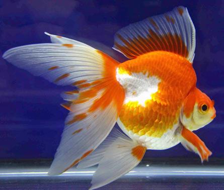 Nature lover gold fish for Koi fish life span