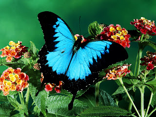 Huge Beutiful Blue Butterfly on Plants HD Wallpaper