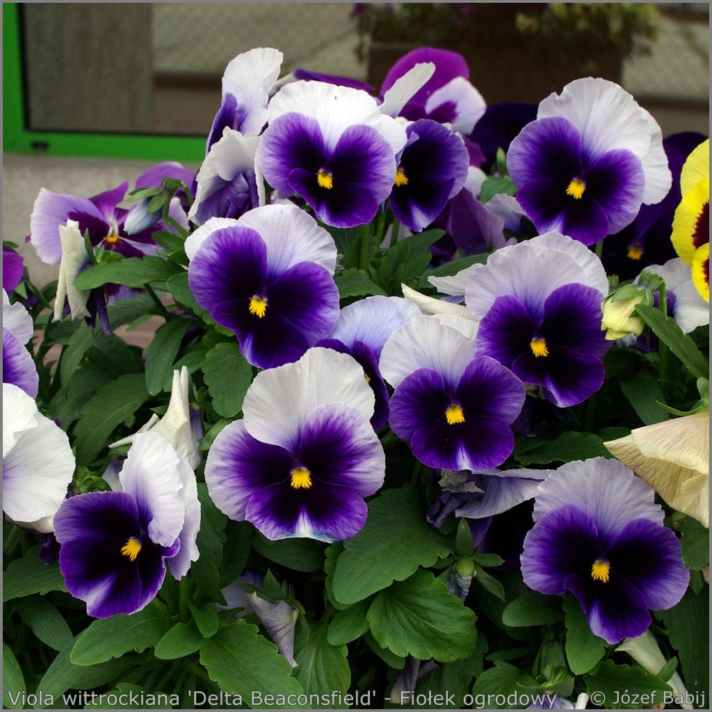 Viola wittrockiana 'Delta Beaconsfield' flowers - Fiołek ogrodowy, bratek kwiaty