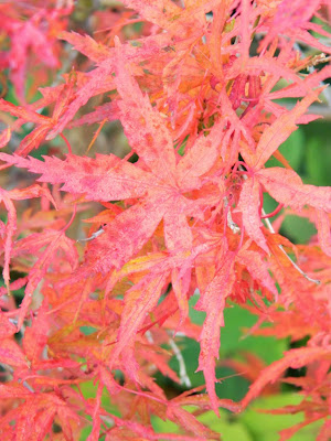 Acer palmatum Kamagata Japanese maple fall foliage at Toronto Botanical Garden by garden muses-not another Toronto gardening blog