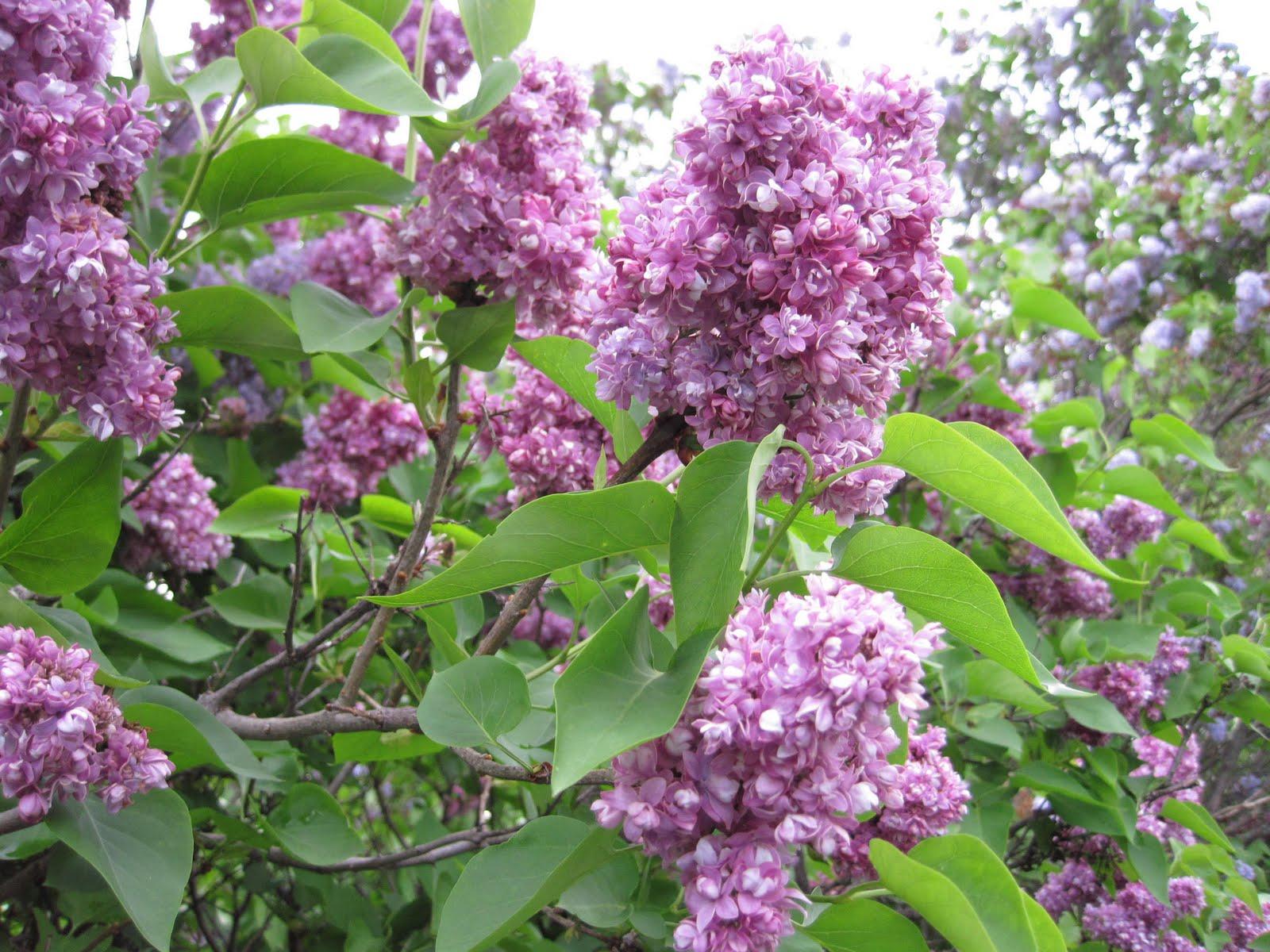Gordon w fredrickson lilacs
