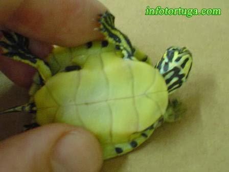 Tortuga de Florida - Pseudemys floridiana