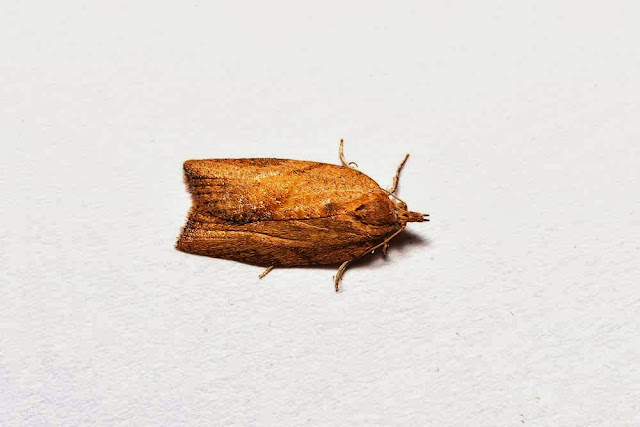 Light Brown Apple Moth (female) - Photographed in Milton Keynes