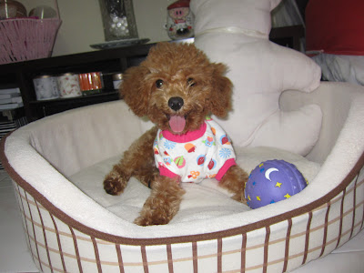 cute brown poodle shirt ball