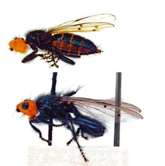 'Mythical' Corpse-eating Flies Are Back -- And They're Real