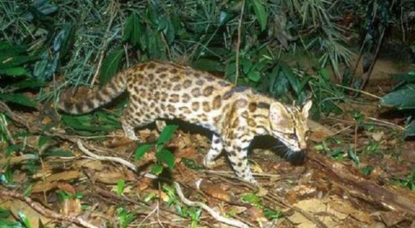 Kucing Spesies Baru ini Muncul di Brasil