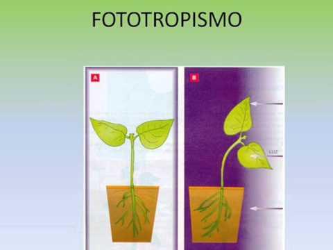 Que es fototropismo y ejemplos 19