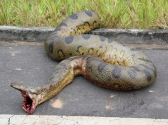 Mais uma cobra gigante é flagrada em trecho da BR-364