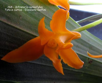 Bifrenaria aureofulva do blogdabeteorquideas