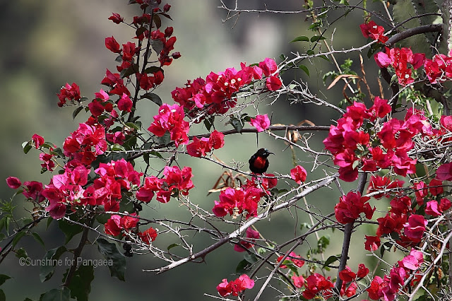 scarlet-chested sunbird (Chalcomitra senegalensis)