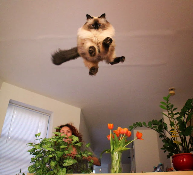 Funny cats - part 78 (35 pics + 10 gifs), cat pics, flying cat