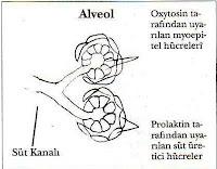 Alveolların fizyoanatomik yapısı