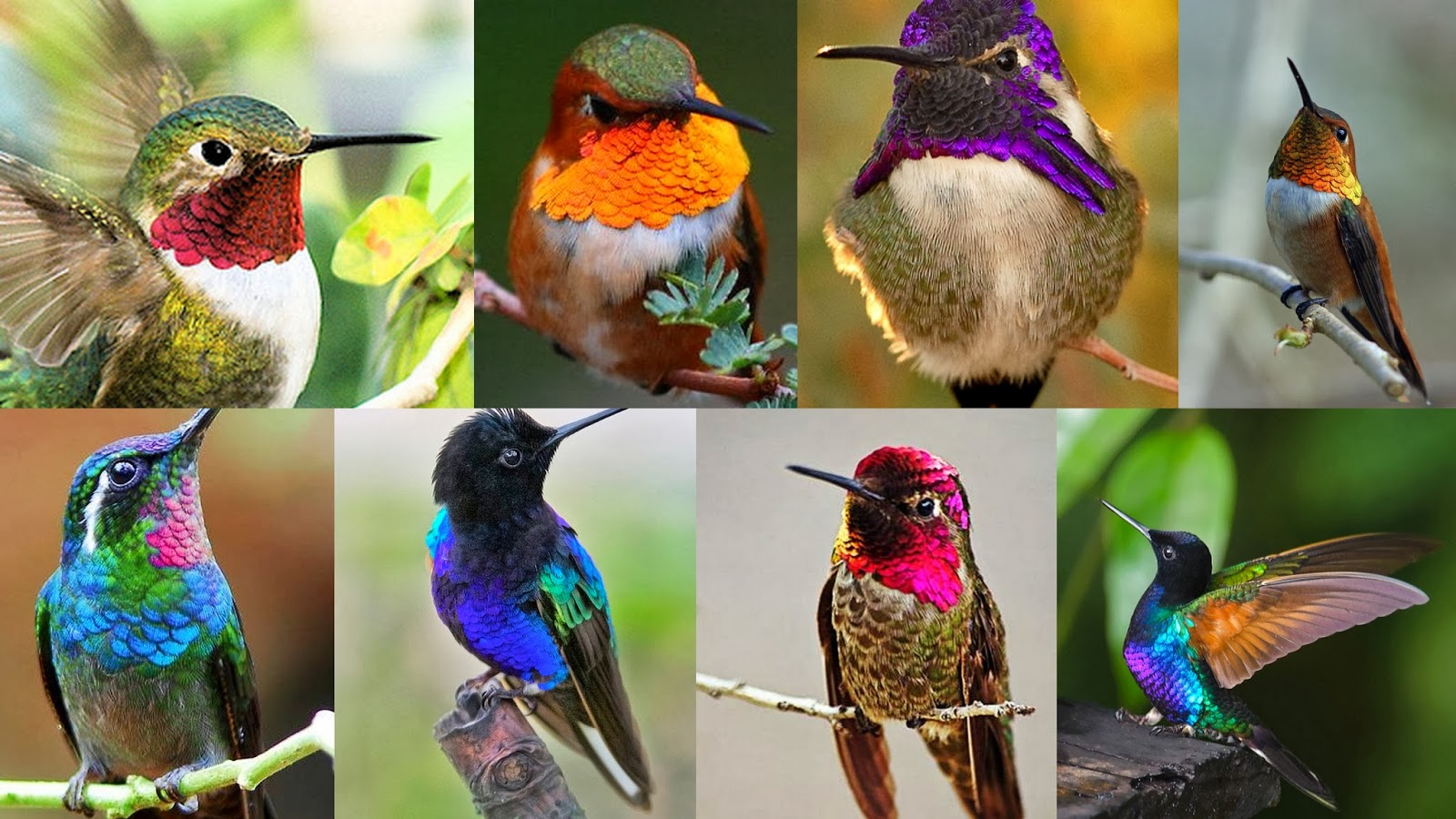 7 Amazing Facts about Incredible Hummingbirds - photo#6